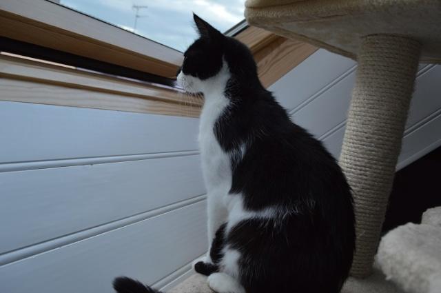 GENTILLE, chatte noire et blanche, née en 2011 Dsc_0037