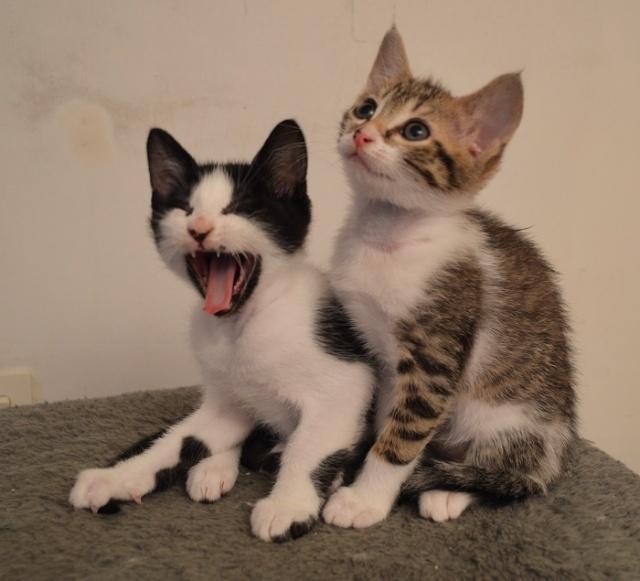 JOKE, chatonne tigrée et blanche, née début Mai 2014 Dsc_0038