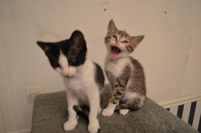 JOKE, chatonne tigrée et blanche, née début Mai 2014 Dsc_0039
