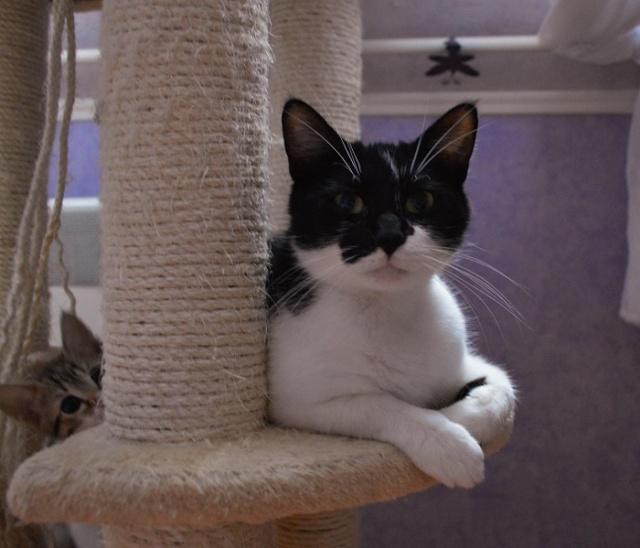 GENTILLE, chatte noire et blanche, née en 2011 Dsc_0117