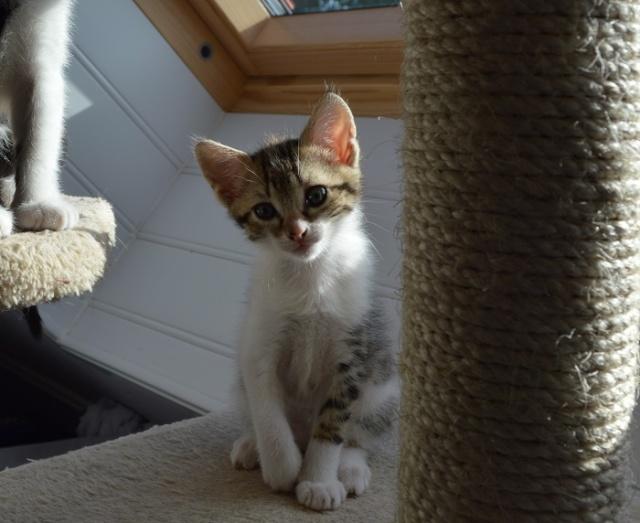 JOKE, chatonne tigrée et blanche, née début Mai 2014 Dsc_0118