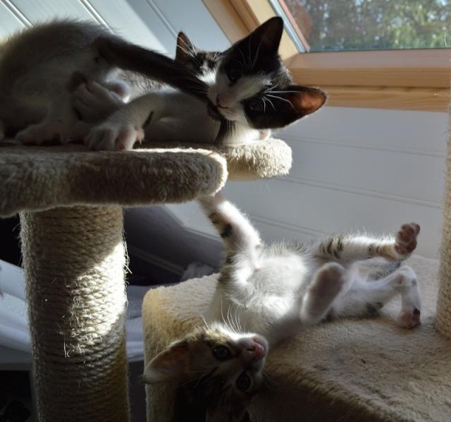 JOKE, chatonne tigrée et blanche, née début Mai 2014 Dsc_0120