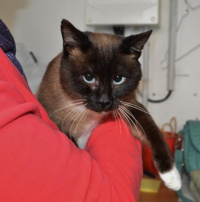 Gringo, chat croisé siamois fauve et blanc, né en 2011 Dsc_0142