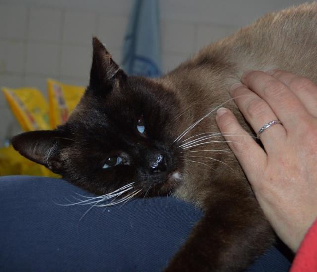 Gringo, chat croisé siamois fauve et blanc, né en 2011 Dsc_0144