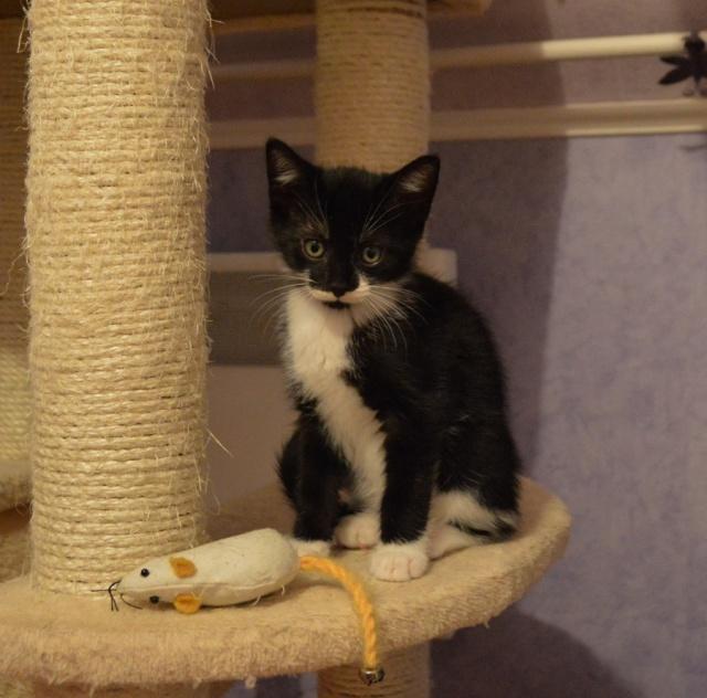 JEFFERSON, chaton mâle noir et blanc, né le 20/08/14 Dsc_0164
