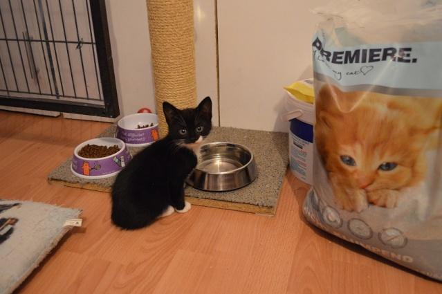 JONAS, chaton mâle noir et blanc, né le 20/08/14 Dsc_0166