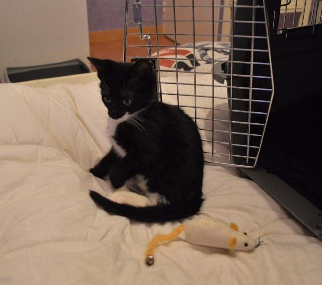 JONAS, chaton mâle noir et blanc, né le 20/08/14 Dsc_0168