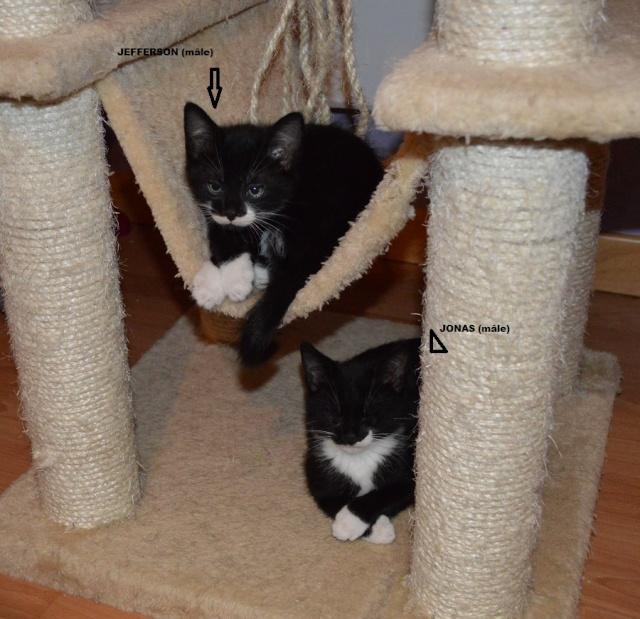 JONAS, chaton mâle noir et blanc, né le 20/08/14 Dsc_0169