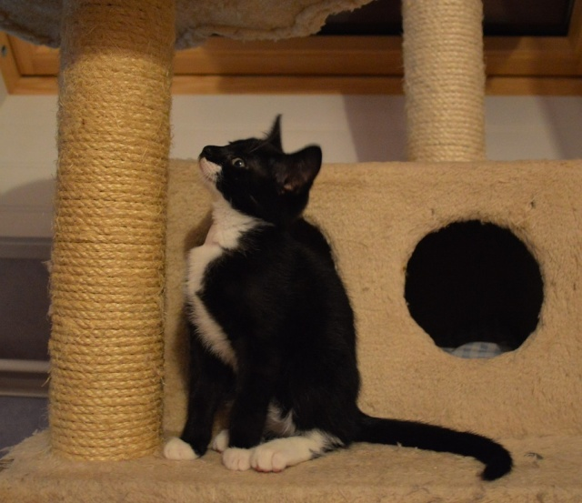 JONAS, chaton mâle noir et blanc, né le 20/08/14 Dsc_0170