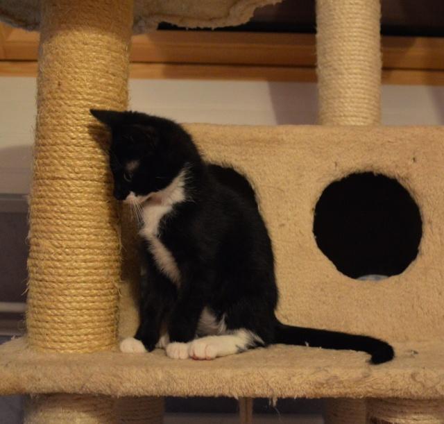 JONAS, chaton mâle noir et blanc, né le 20/08/14 Dsc_0171