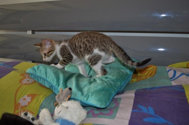 JOKE, chatonne tigrée et blanche, née début Mai 2014 Dsc_0239
