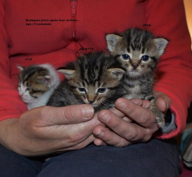 JOYA, chatonne tigrée, née le 20/10/14 Dsc_0246