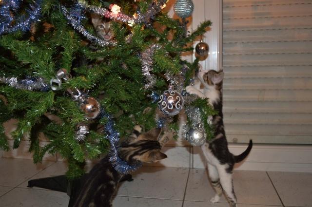 JOYA, chatonne tigrée, née le 20/10/14 Dsc_0249
