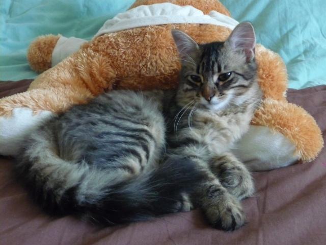 HALF, chaton tigré aux poils longs, né vers le 15 Avril 2012 Half_110