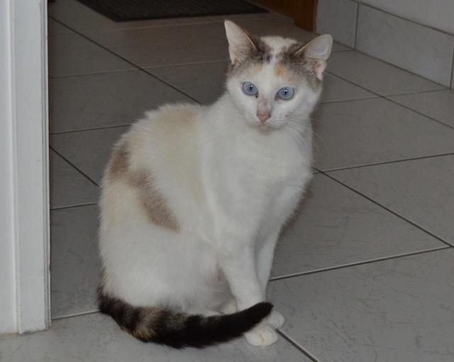 Hannabelle femelle blanche et beige née le 01/09/2012 Hannab10
