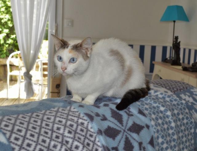 Hannabelle femelle blanche et beige née le 01/09/2012 Hannab11