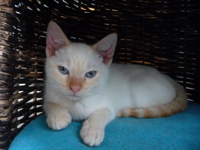 Hélico, chaton mâle blanc et roux né en juillet 2012 Helico10