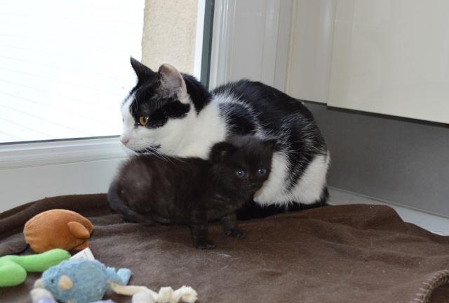"JESPER, chaton mâle noir ""smoke"", né le 25/04/14 Jesper16"