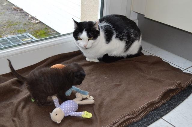 "JESPER, chaton mâle noir ""smoke"", né le 25/04/14 Jesper17"