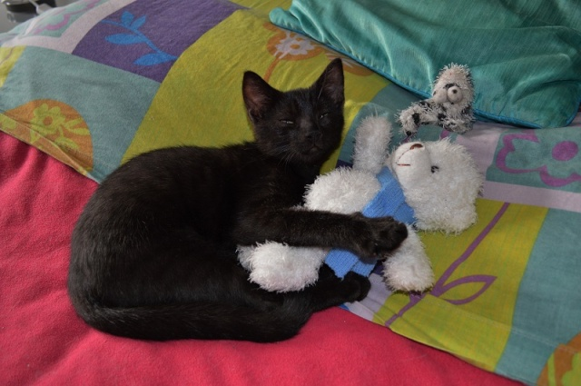 "JESPER, chaton mâle noir ""smoke"", né le 25/04/14 Jesper20"