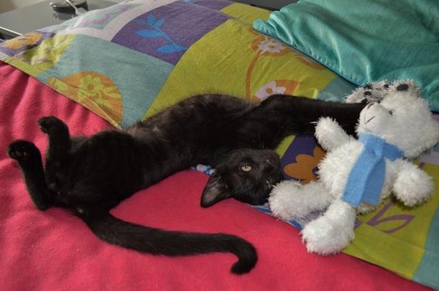 "JESPER, chaton mâle noir ""smoke"", né le 25/04/14 Jesper21"
