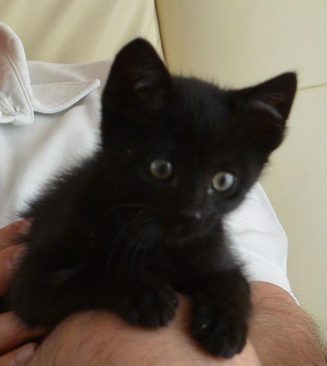 JUNIOR, chaton européen noir, né le 01/03/2014 Junior12