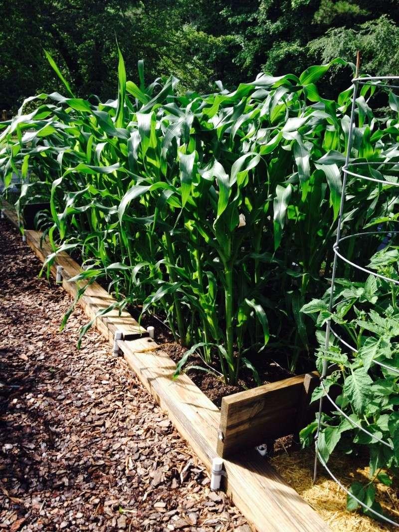 Corn Question Corn_010