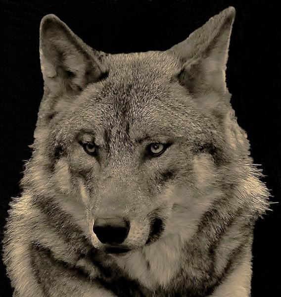 le loup Img_3810