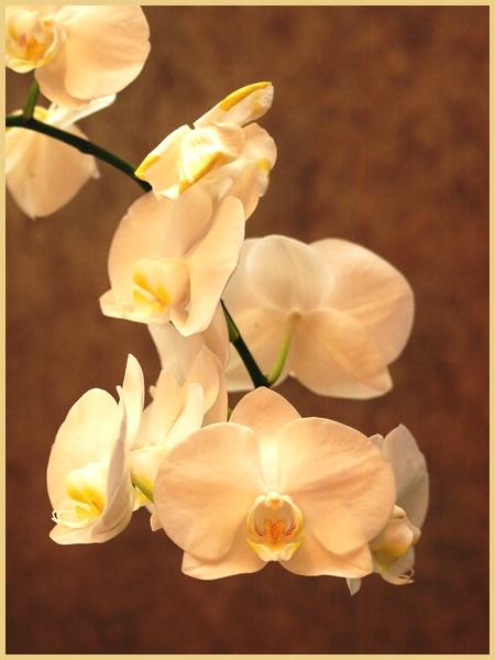 phalaenopsis P9266110