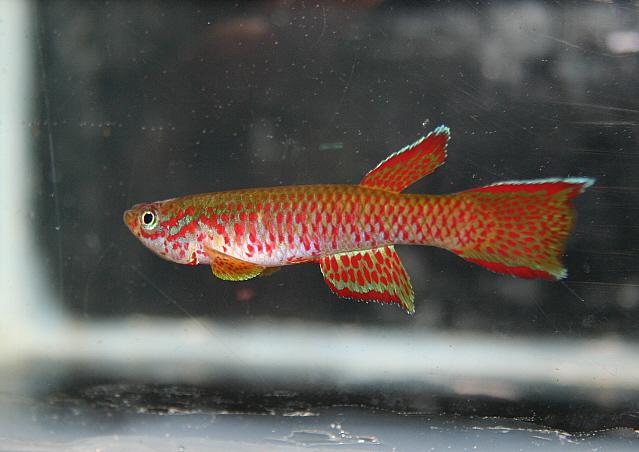 Petites nouvelles de ma fish room... - Page 2 Aphyo_11