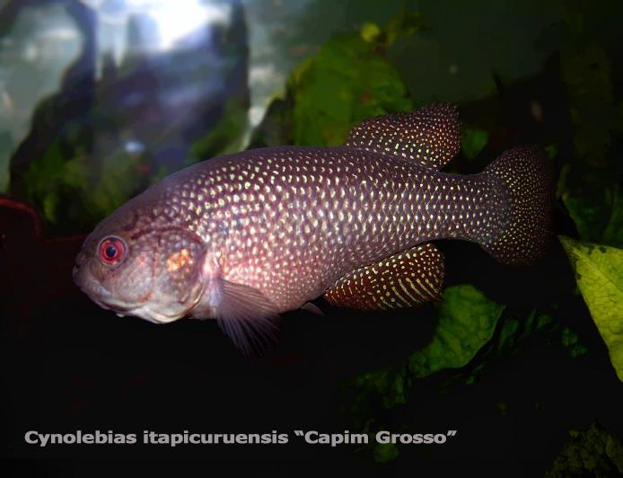 """Cynolebias itapicuruensis """"Capim Grosso"""" Cynole10"""
