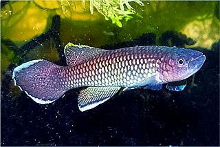 Petites nouvelles de ma fish room... Nimbap10