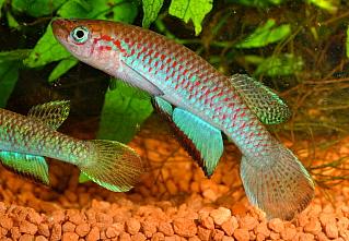 Petites nouvelles de ma fish room... Nimbap12