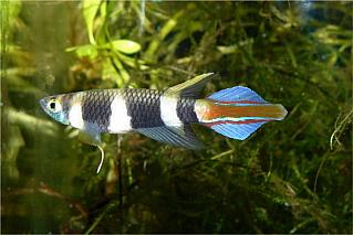 Petites nouvelles de ma fish room... Pseud_14