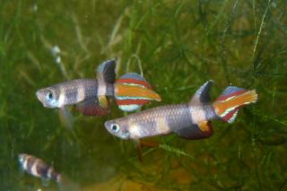 Petites nouvelles de ma fish room... - Page 2 Pseud_16
