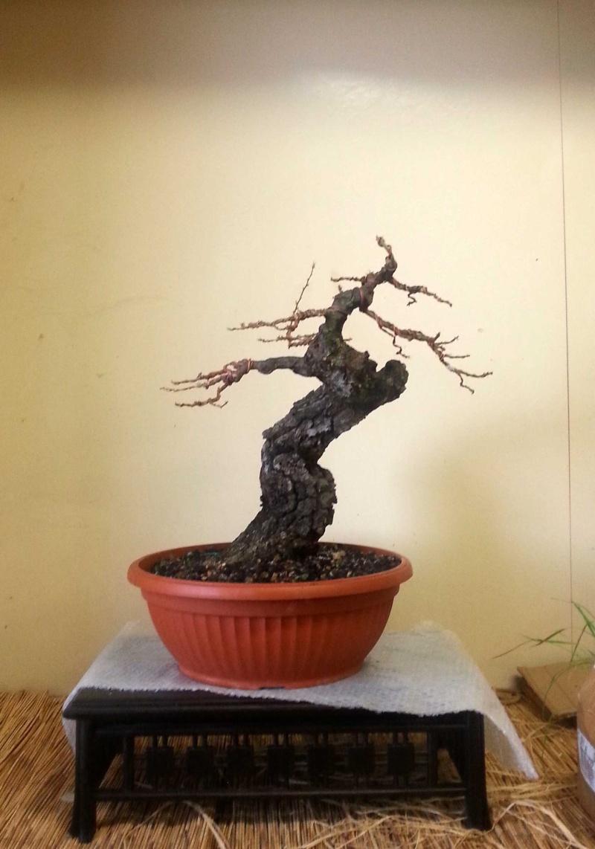 Quercus cerris - Pagina 5 Cerro-10