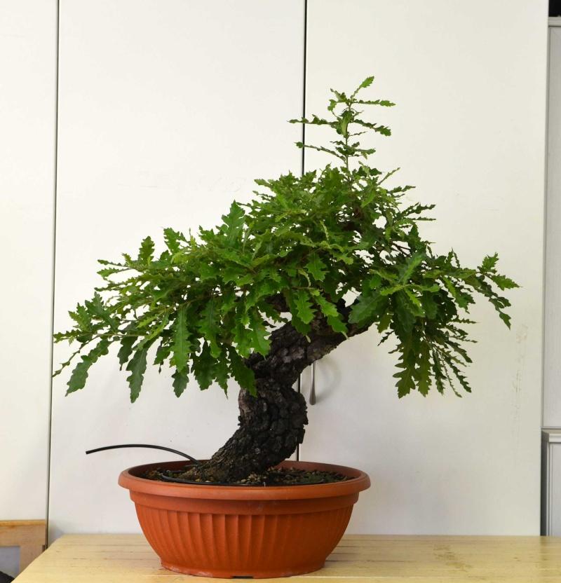 Quercus cerris - Pagina 5 Cerro-11