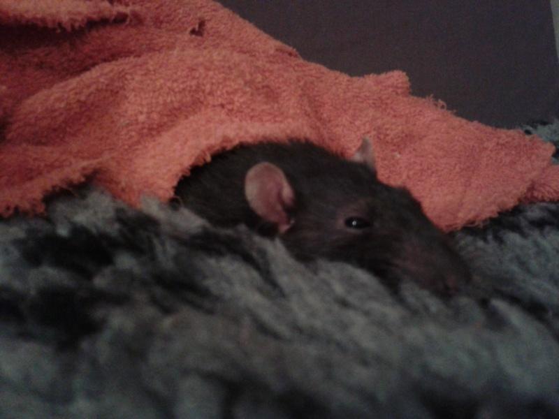 Rudolf, petit rat terrorisé [69] 2014-010