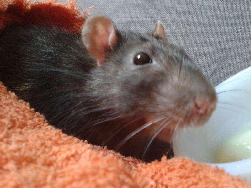 Rudolf, petit rat terrorisé [69] 2014-110