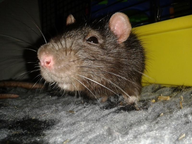 Rudolf, petit rat terrorisé [69] 2014-111