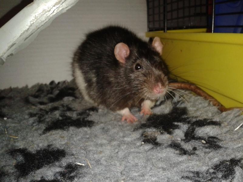 Rudolf, petit rat terrorisé [69] 2014-113