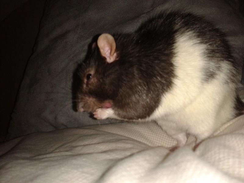 Rudolf, petit rat terrorisé [69] 2014-118