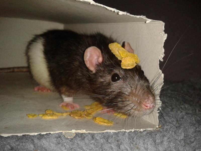 Rudolf, petit rat terrorisé [69] 2014-119