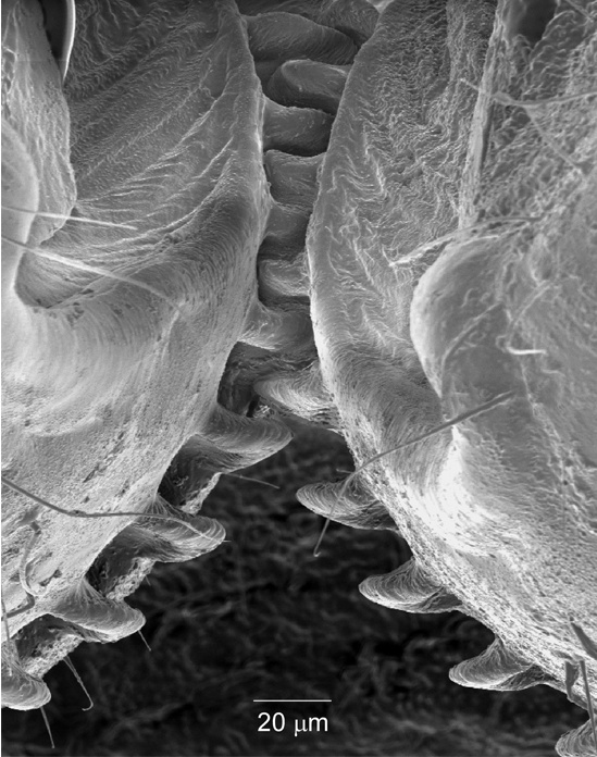 Mechanical Gears Discovered on Planthopper Insect Mechan10