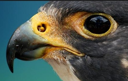The Peregrine Falcon, powerful  evidence of  amazing design Peregr10