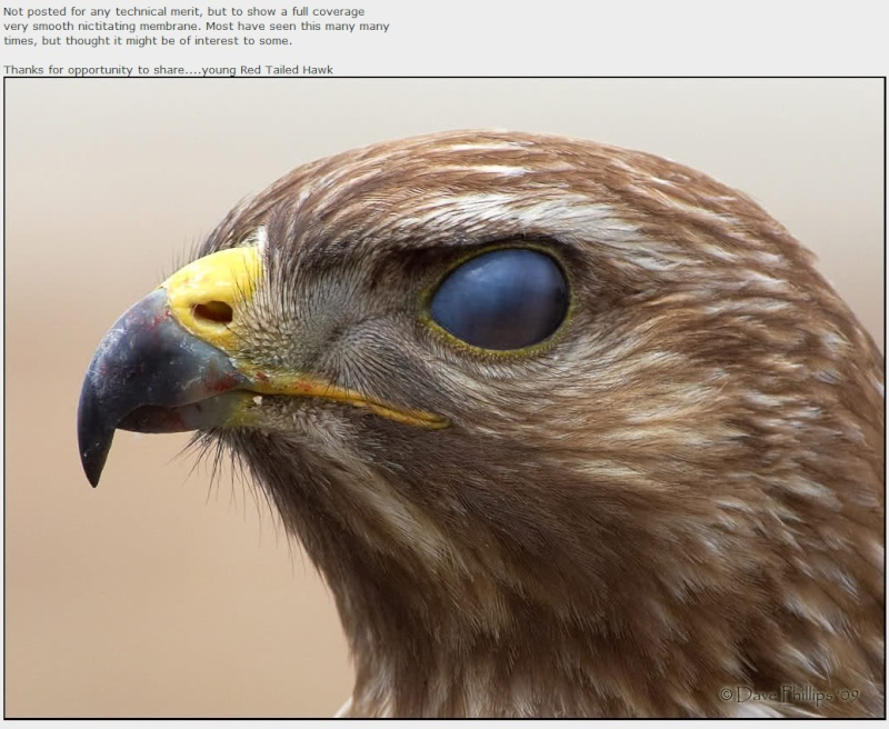 The Peregrine Falcon, powerful  evidence of  amazing design Rth_fu10