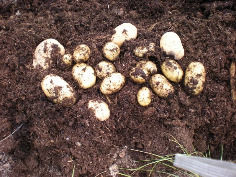 Patates en sac Rycolt10