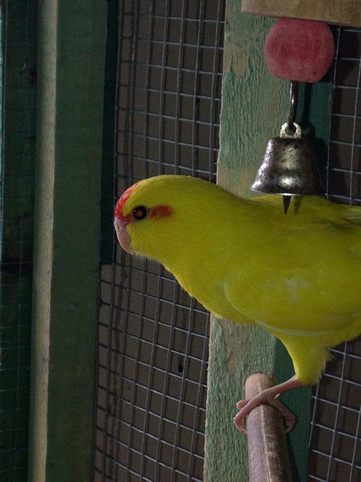 kakariki de 1 mois et demi , mâle ou femelle  10168310