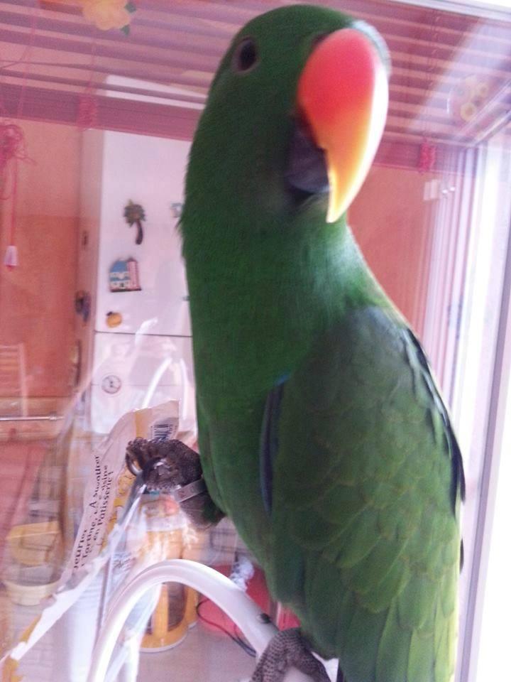 AVIS DE RECHERCHE un perroquet envoler à Sallaumines  10527410