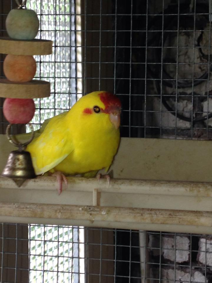 kakariki de 1 mois et demi , mâle ou femelle  10579210